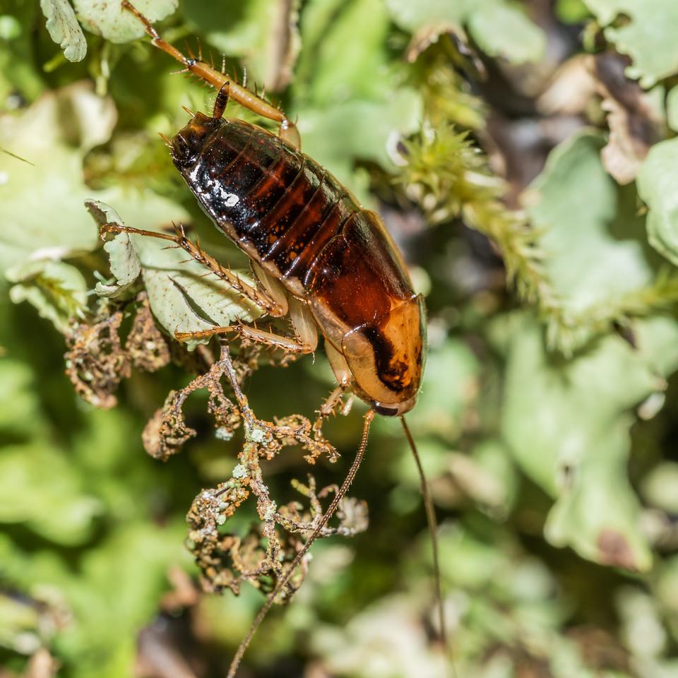 Cockroach (Celatoblatta notialis) male. McKellar Hut, Greenstone Track.