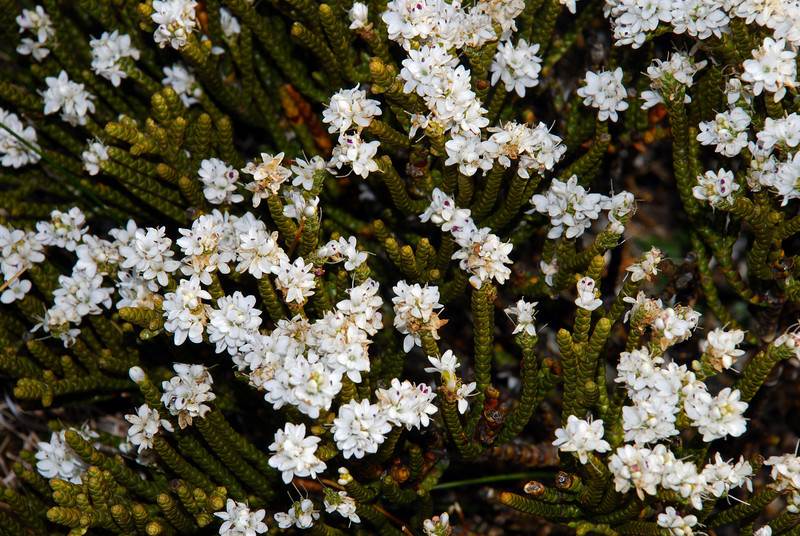 Whipcord hebe (Hebe lycopodioides). Mt Eostre, Matukituki Valley