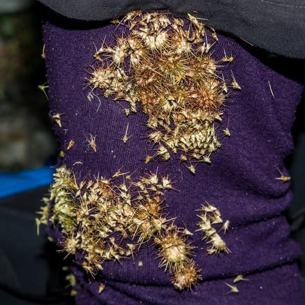 Bidibid / hutiwai or piripiri (Acaena anserinifolia). Emily Creek, Routeburn.