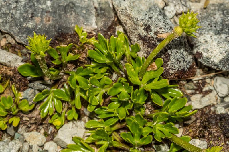 Silky alpine buttercup (Ranunculus sericophyllus). Emily Pass, Ailsa Mountains.