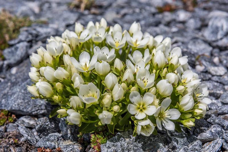 Gentian (Gentianella divisa). Fastness Peak, Mount Aspiring National Park.
