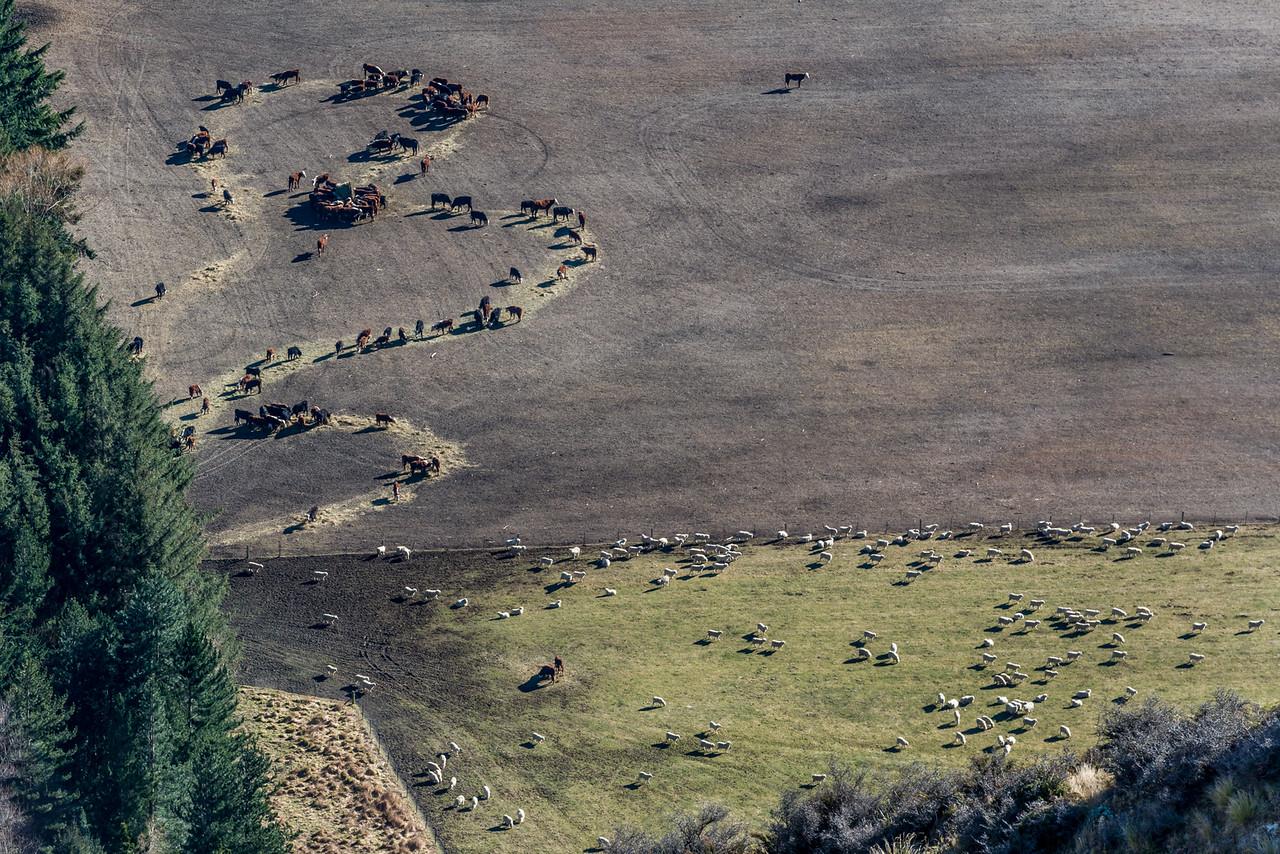Livestock in the Matukituki Valley. View from above Wishbone Falls