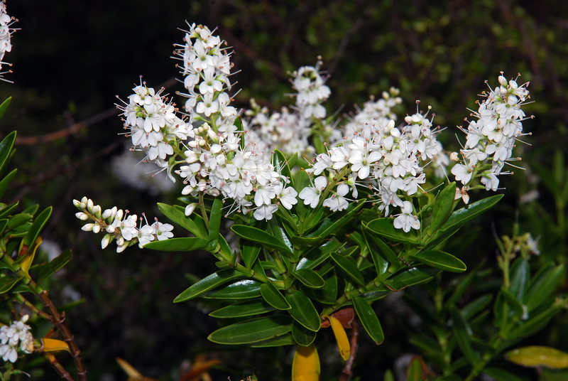 Mountain koromiko (Veronica subalpina). Lake Creek, Shotover River