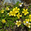 Ranunculus gracilipes. Key Dome, Mount Aspiring NP