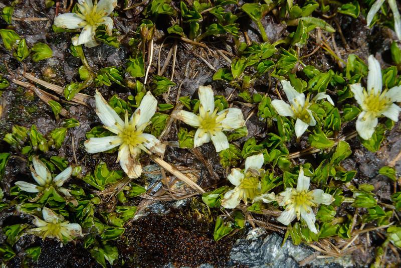 White caltha (Caltha obtusa). Key Dome, Mount Aspiring NP