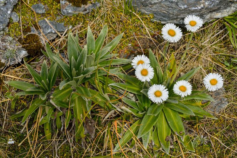 Mountain daisy (Celmisia verbascifolia). Key Dome, Mount Aspiring NP
