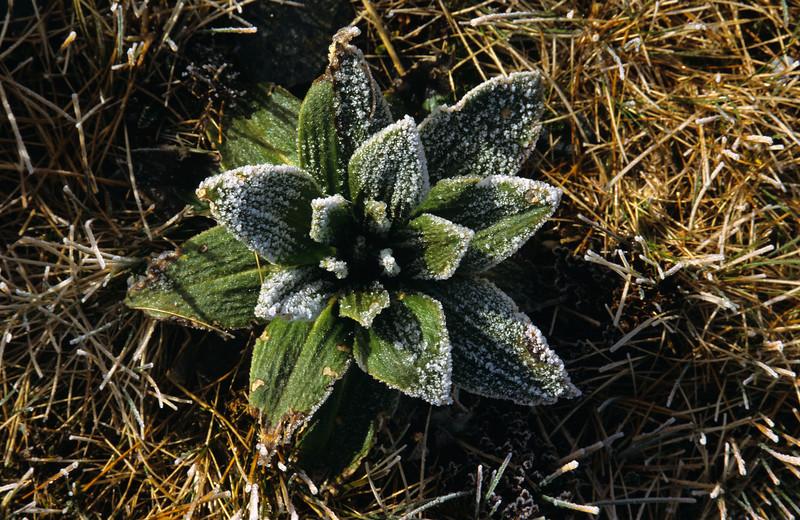 Celmisia verbascifolia (?) Matukituki Saddle, Mount Aspiring NP