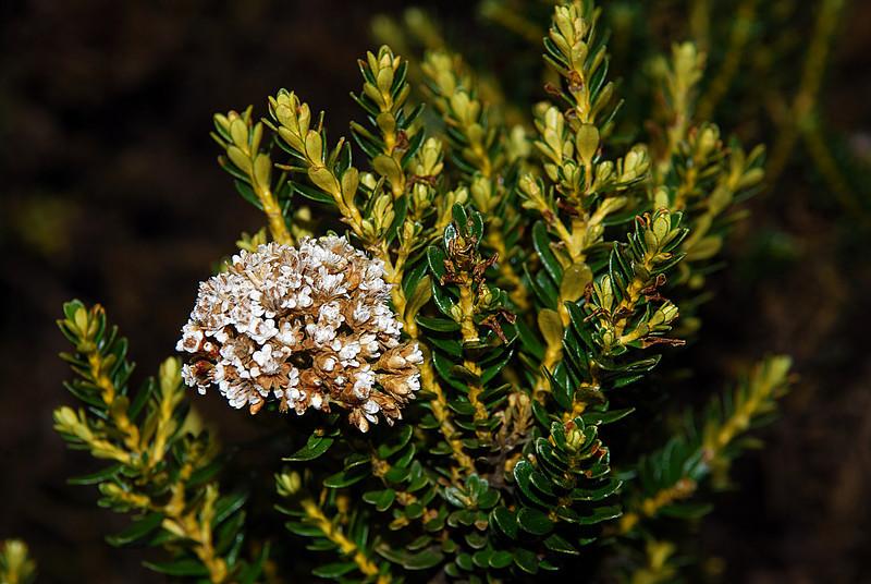 Mountain cottonwood / tauhinu (Ozothamnus vauvilliersii). North Routeburn