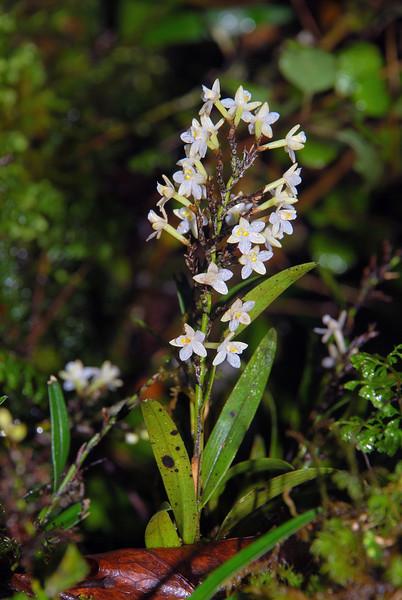 Easter orchid / raupeka (Earina autumnalis). Okuru River, Westland