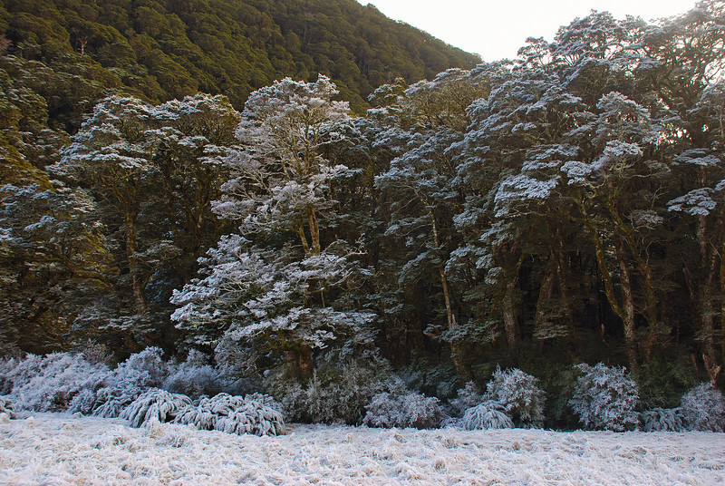 Hoar frost at Shovel Flat, Matukituki River West Branch. Silver beech forest (Lophozonia menziesii)