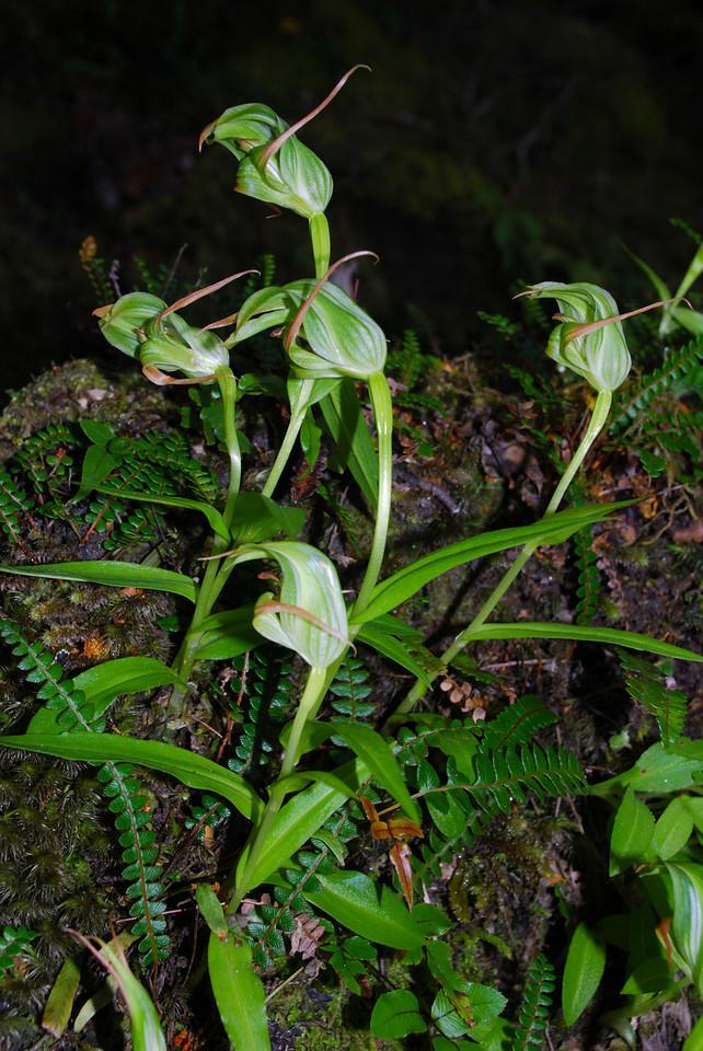 Southern greenhood orchid / tutukiwi (Pterostylis australis). Matukituki River East Branch, Mount Aspiring NP
