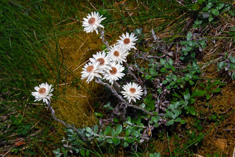 Hells bells (Anaphalioides bellidioides). Matukituki River East Branch, Mount Aspiring NP