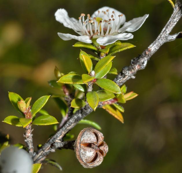Mānuka (Leptospermum scoparium) flower and seed capsule. Caples River
