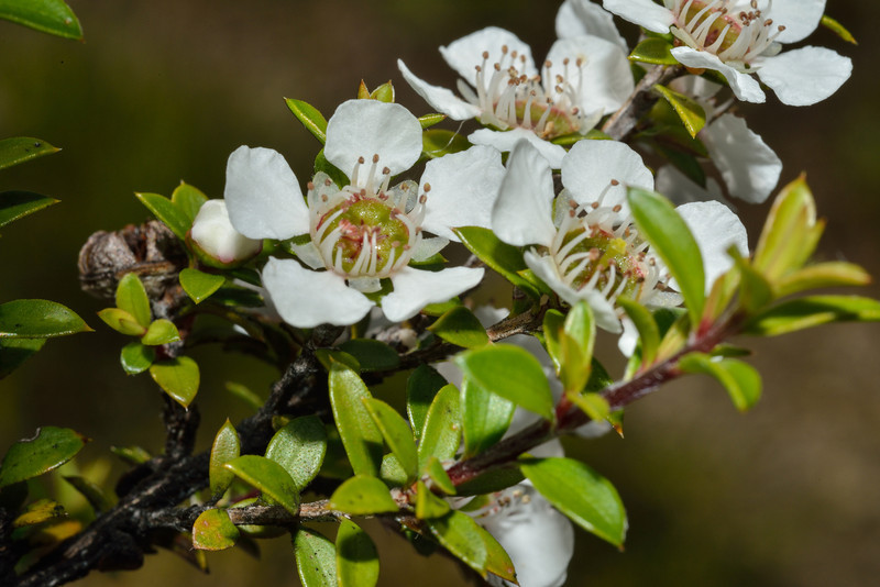 Mānuka (Leptospermum scoparium). Caples River