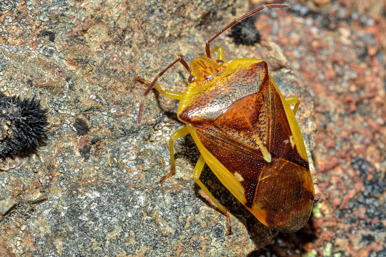 Forest shield bug (Oncacontias vittatus) on Scott Creek / Kay Creek Saddle.