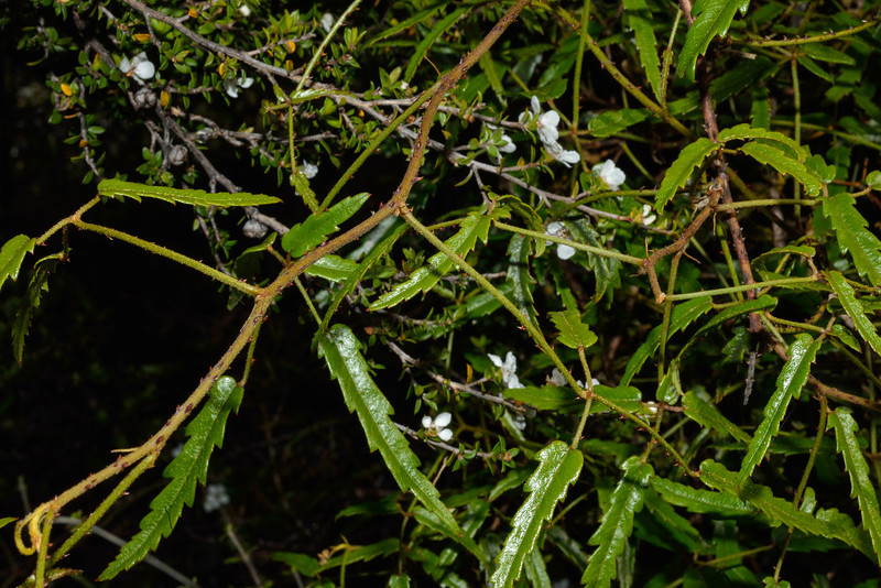 Creeping lawyer (Rubus parvus) tangle on mānuka (Leptospermum scoparium) shrub. Mid Caples Hut, Caples River