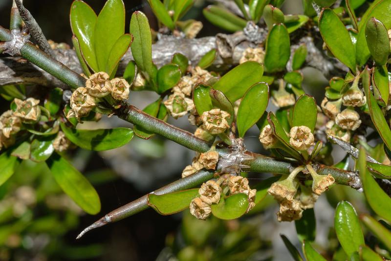 Matagouri / Wild Irishman (Discaria toumatou), with flowers. Notice the size of a thorn for comparison. Mid Caples Hut, Caples River
