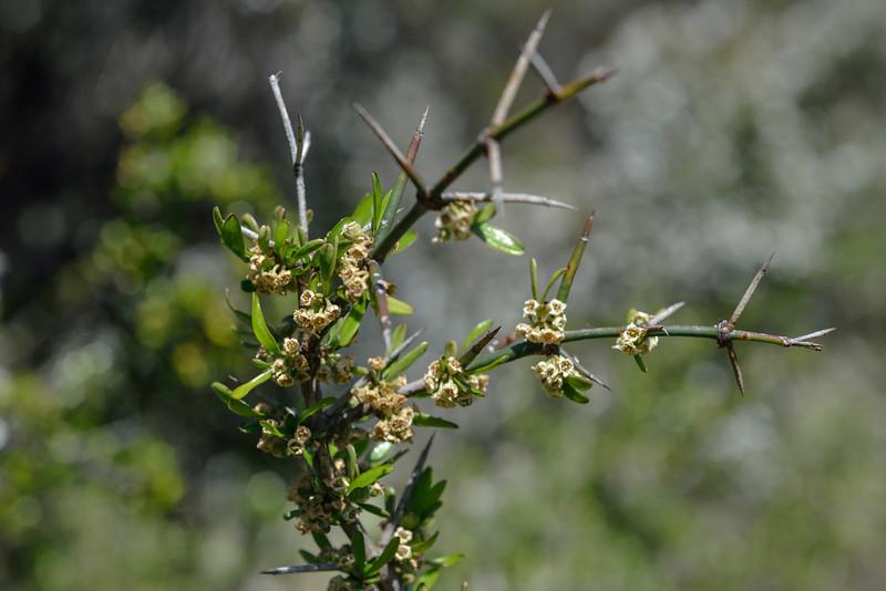Matagouri / Wild Irishman (Discaria toumatou). Mid Caples Hut, Caples River