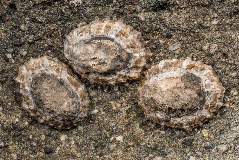 Ornate limpet (Cellana ornata). Smoothwater Bay, South Westland.