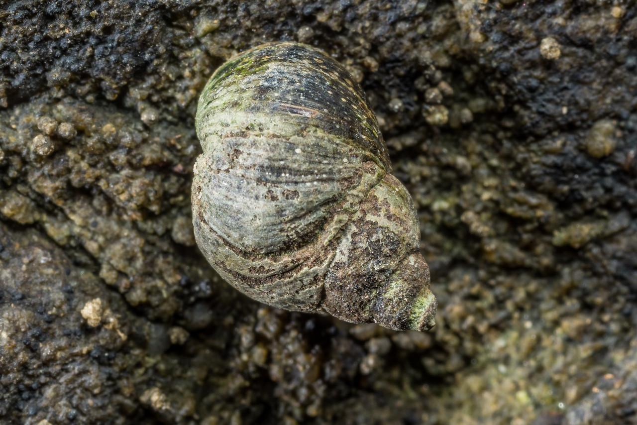 Brown periwinkle (Austrolittorina cincta). Homminy Cove to Stafford Bay, South Westland.