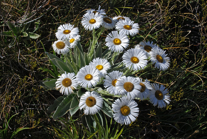 Large mountain daisy (Celmisia semicordata), Cascade Creek head basin.