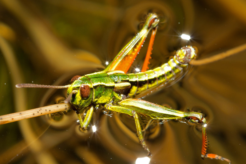 Short-horned grasshopper (Sigaus australis) swimming in a pond on the souhern slopes of Mt Cross