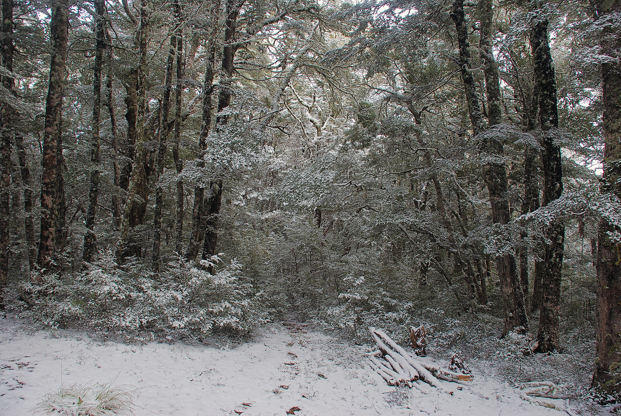 Beech forest at Bob's Camp Biv (Mountain Beech / Nothofagus solandri)