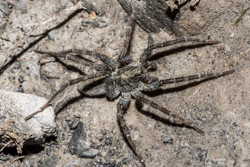 Wolf spider (Anoteropsis spp.). Hapuku River, Seaward Kaikoura Range.