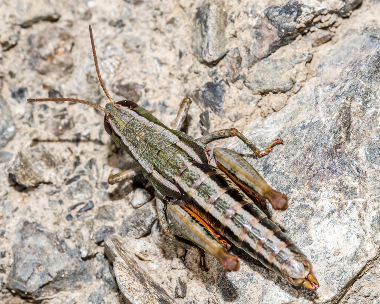 Short-horned grasshopper (Paprides nitidus). Kowhai Saddle, Seaward Kaikoura Range.