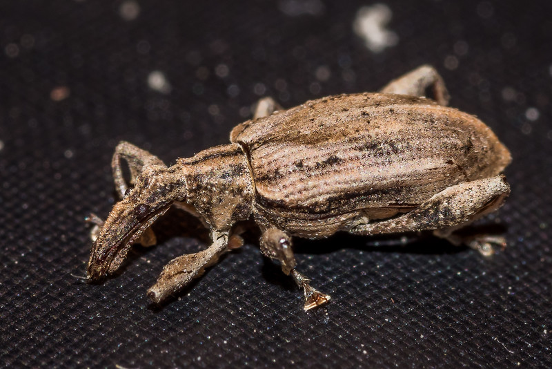 Weevil (Stephanorhynchus insolitus). Stace Saddle, Hapuku River, Seaward Kaikoura Range.