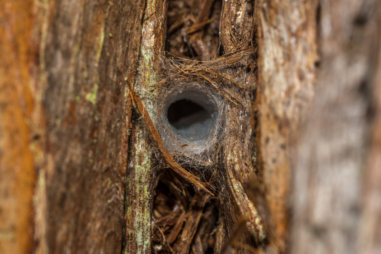 A spider's (Ariadna spp.) silk-lined tunnel in totara bark, Peel Forest