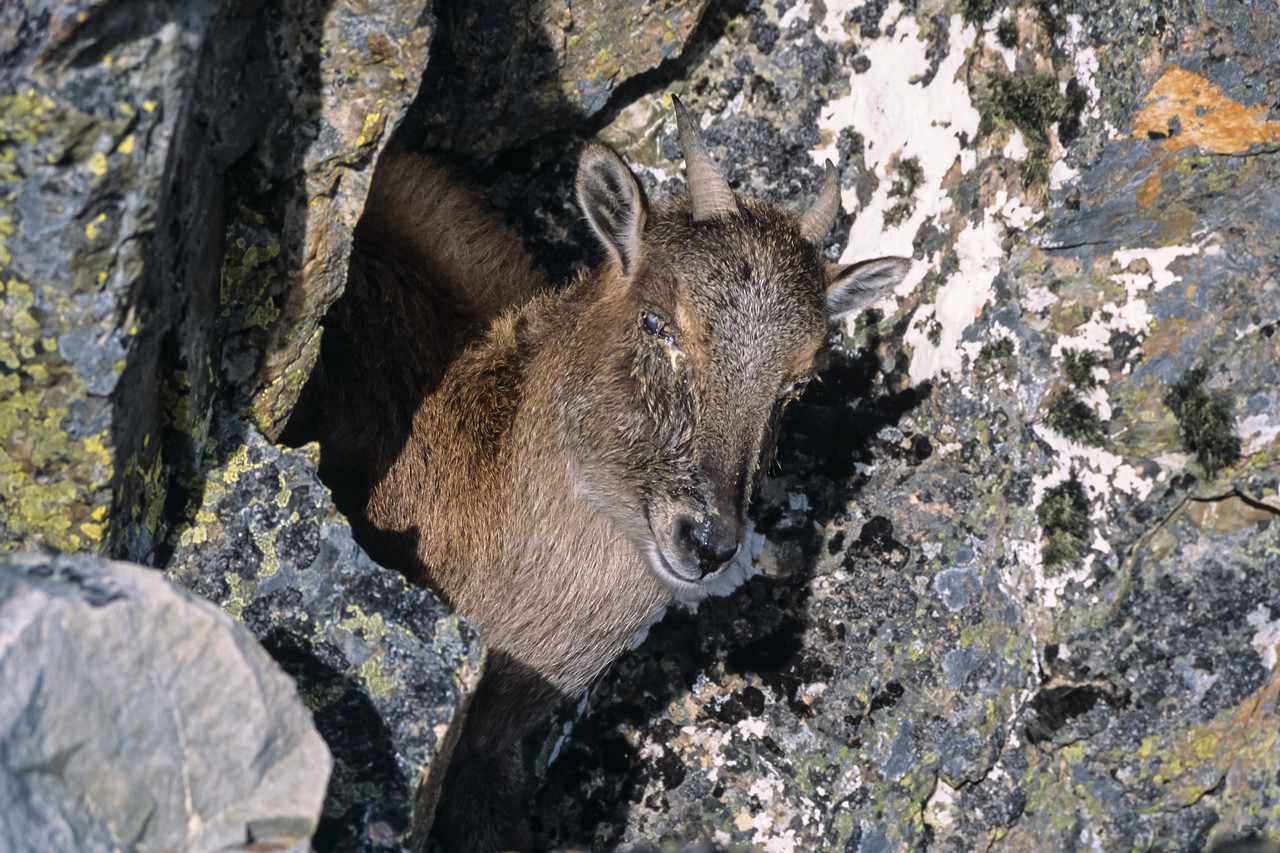 Himalayan tahr (Hemitragus jemlahicus) on Middle Mount Peel. September 2002