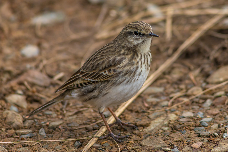 New Zealand Pipit / pīhoihoi (Anthus novaeseelandiae). Little Mount Peel / Huatekerekere
