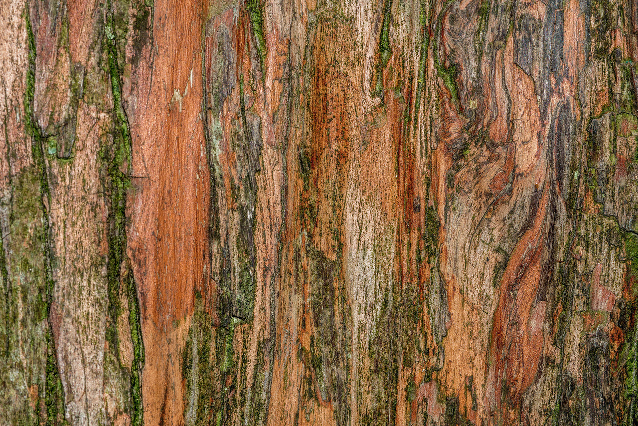 Big Tree, Peel Forest. Tōtara bark (Podocarpus totara)