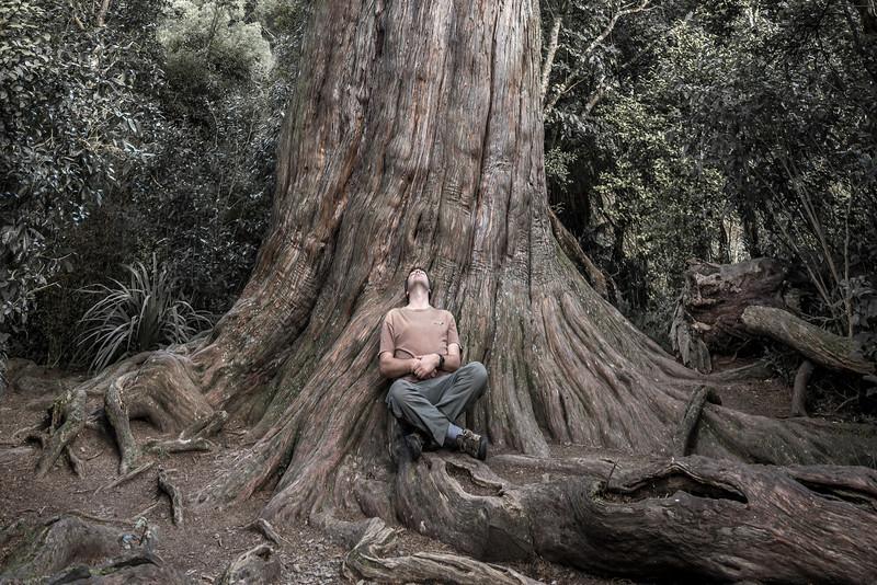 Big Tree, Peel Forest. Tōtara (Podocarpus totara)