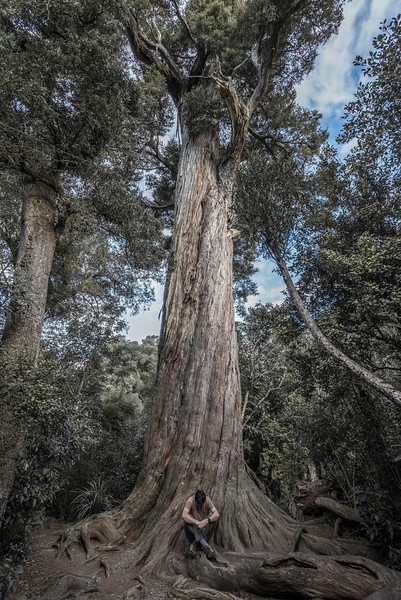 Big Tree, Peel Forest. Tōtara (Podocarpus totara)