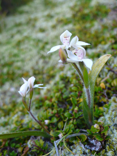 An orchid among the scrub