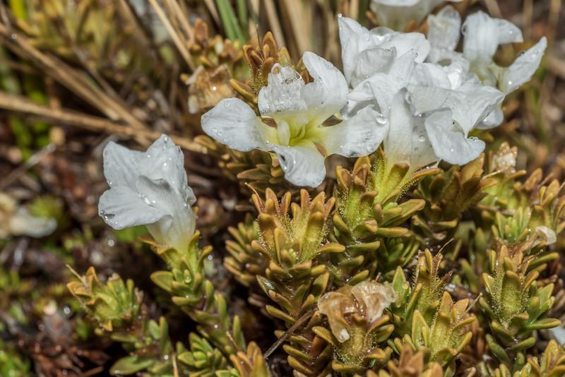 Veronica densifolia. Nevis Burn, Hector Mountains