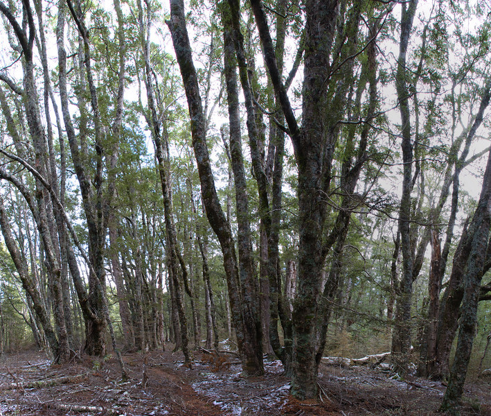 Beech forest, Waikaia Bush
