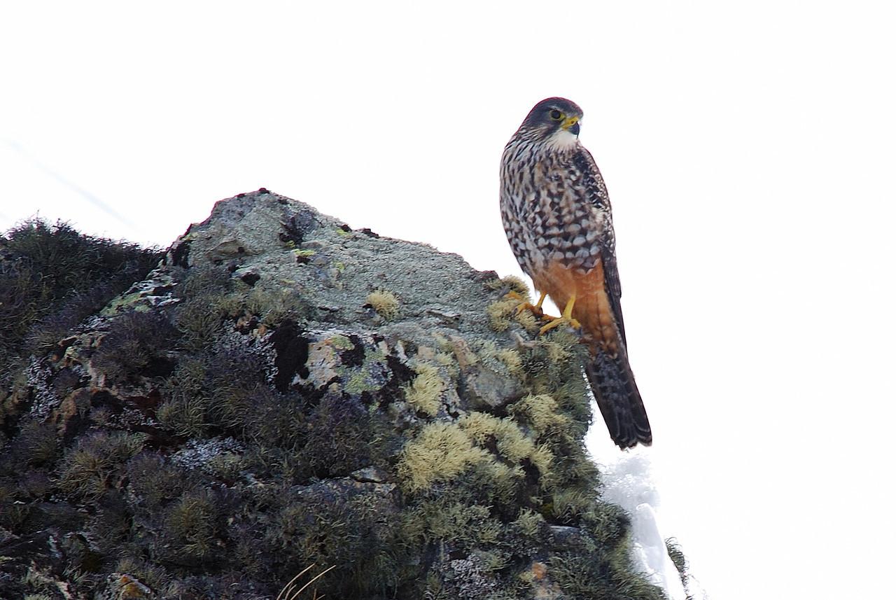 Kārearea, or New Zealand falcon (Falco novaeseelandiae). Shepherd Saddle, Irthing Stream