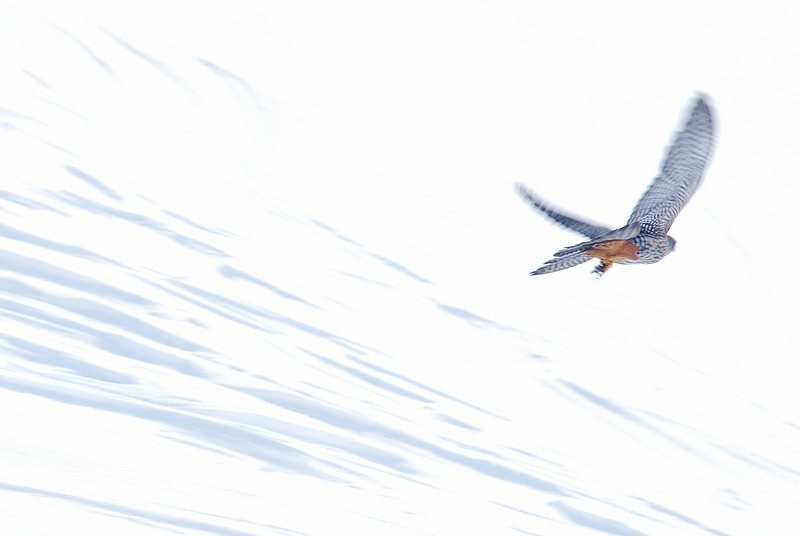 Kārearea, or New Zealand falcon (Falco novaeseelandiae) in flight over a snow-field. Shepherd Saddle, Irthing Stream