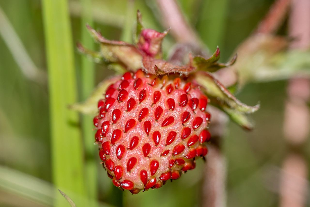 Wild strawberry (Fragaria vesca). Caspers Flat, Skippers Creek Right Branch