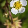 Wild strawberry (Fragaria vesca). Caspers Flat, Skippers Creek Right Branch