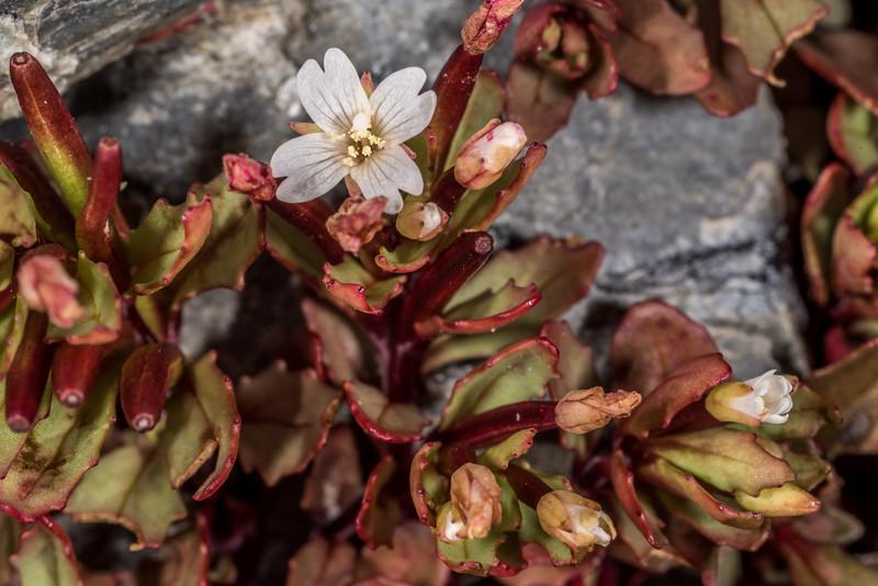 Willowherb (Epilobium porphyrium). Mount Domett, St Marys Range