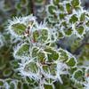 Hoar frosted beech