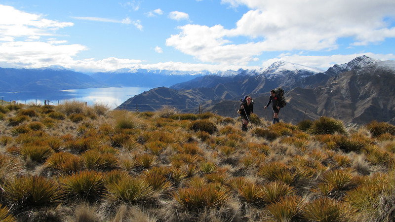 Spaniard density was high just below the summit - Lake Hawea at left, Corner Peak and Breast Peak centre and right.