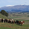 Curious cows and the hills above Wanaka (Mt Iron at centre)