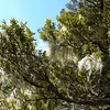 Totara (Podocarpus hallii) and lichen