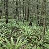 More crown fern