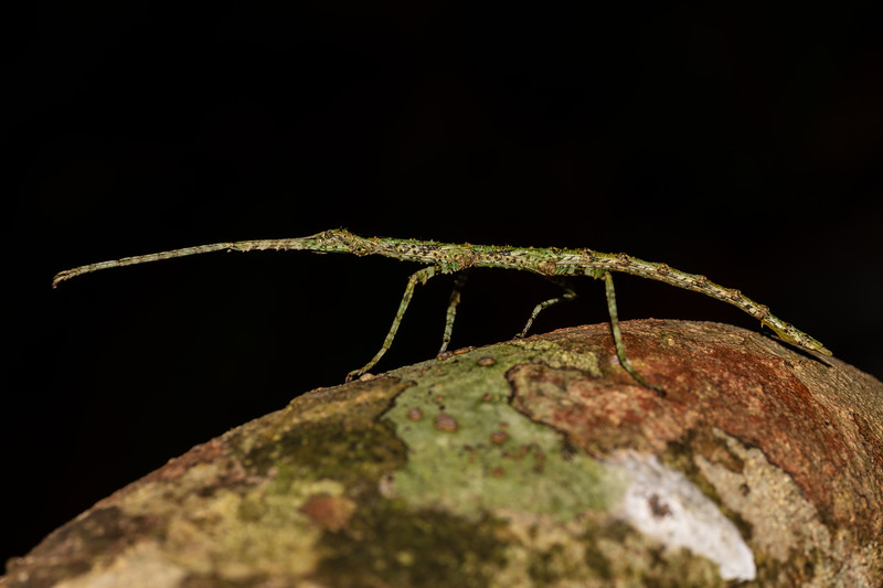Prickly stick insect (Acanthoxyla prasina). Lake Te Anau, Fiordland National Park.